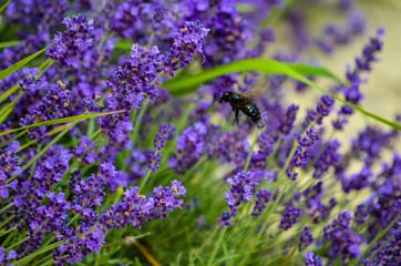 Spoed Fotobehang Lavendel Abeille qui butine de la lavande