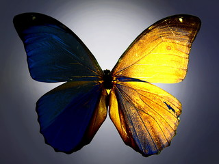 Yellow and Blue back lit butterfly