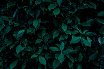 Wall Mural - abstract green leaves texture, nature background, dark tone wallpaper