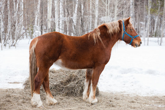 Red horse with a light mane and tail on a background of a winter forest. Winter day at the farm