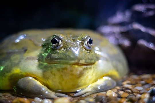 Giant African Bullfrog (Pyxicephalus adspersus), resting in a dark place