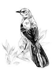 Mockingbird sitting on a branch. Ink graphics.