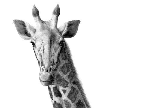 giraffe digital ink illustration