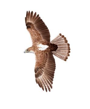 Bonelly's eagle digital illustration