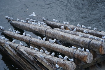 Many seagulls sit on wooden beams on the river