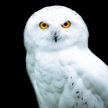 Snowy owl with a black background