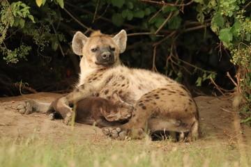 Fotobehang Hyena Spotted hyena (crocuta crocuta) mom nursing her cub.
