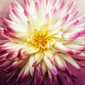 Dahlia, pink and yellow, closeup