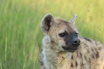 Fotobehang Hyena Spotted hyena (crocuta crocuta) face closeup.