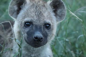 Fotobehang Hyena Spotted hyena cub (crocuta crocuta) face closeup.