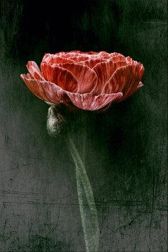 Ranunculus, red and white, dark background