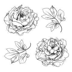Set of peonies and leaves. Hand drawn flowers. Isolated on white background. For invitation, design and print.