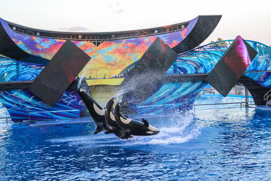 Orlando, Florida, United States - April 22, 2012: three killer whale jumping together at Seaworld. Seaworld is an animal theme park, oceanarium and to a marine park.