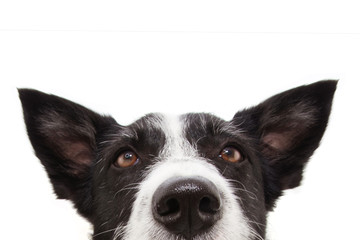 close-up attentive border collie dog with ears up and looking up. Isolated on white background.