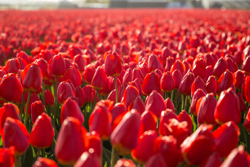 Foto op Plexiglas Tulp A field of red tulips in Hillegom, Holland