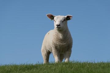 Foto auf Gartenposter Schaf schapen op de dijk