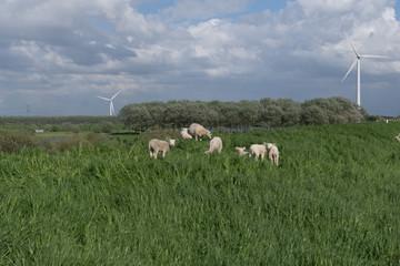 Door stickers Sheep schapen op de dijk