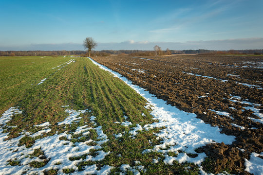 Green winter cereal, snow and plowed field