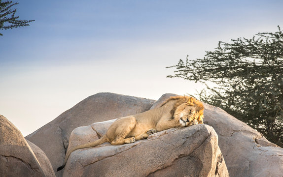 male lion sleeping on rocks in nature
