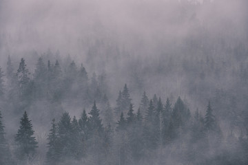 Fotorollo Dunkelgrau dense fog in the spruce photographed from height