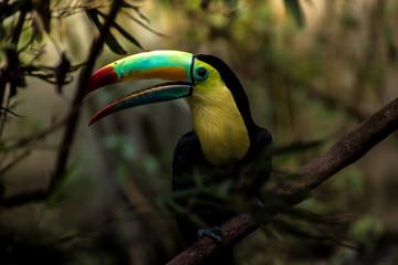 In de dag Toekan Close up of a keel-billed toucan (Ramphastos sulfuratus)