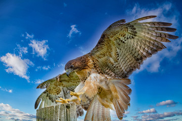Wall Mural - Red Tail Hawk