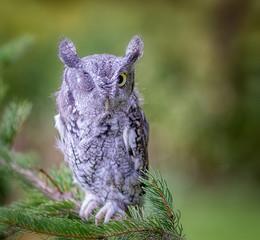 Wall Mural - Screech Owl