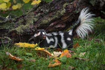 Fotomurales - Eastern Spotted Skunk (Spilogale putorius) Tail Lifted New Log Autumn
