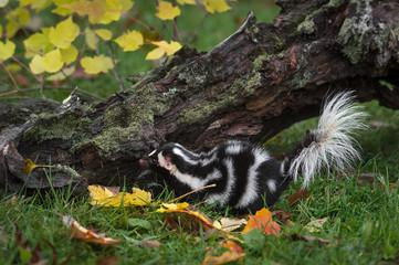 Eastern Spotted Skunk (Spilogale putorius) Faces Left Near Log Autumn