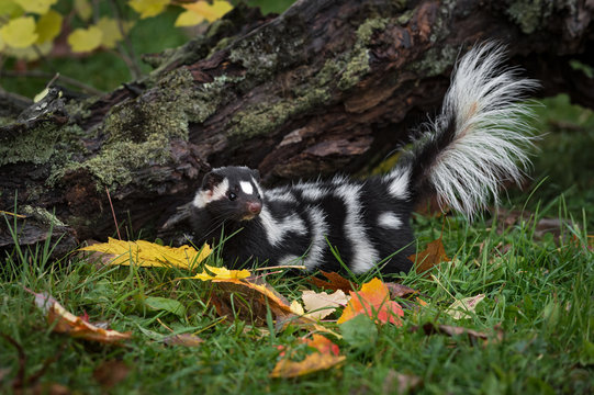 Eastern Spotted Skunk (Spilogale putorius) Tail Lifted New Log Autumn