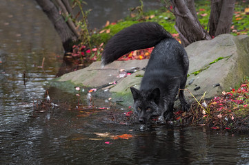 Silver Fox (Vulpes vulpes) Water Dripping From Face Autumn