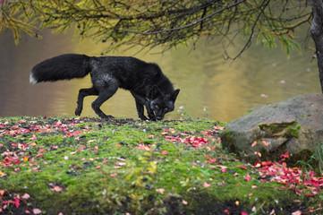 Silver Fox (Vulpes vulpes) Prowls Right Autumn