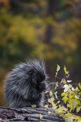 Porcupine (Erethizon dorsatum) in Rain With Autumn Branch Copy Space Top