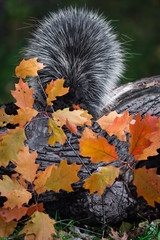 Porcupine (Erethizon dorsatum) Looks Down at Autumn Leafed Branch