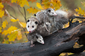 Virginia Opossum (Didelphis virginiana) Piled with Joeys Looks Out Autumn