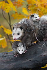 Virginia Opossum (Didelphis virginiana) and Joeys Look Out from Log Autumn