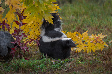 Striped Skunk (Mephitis mephitis) Stands Under Leaves Tail Up Autumn