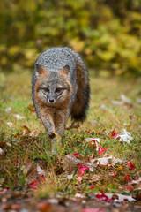 Grey Fox (Urocyon cinereoargenteus) Runs Forward in Rain Autumn