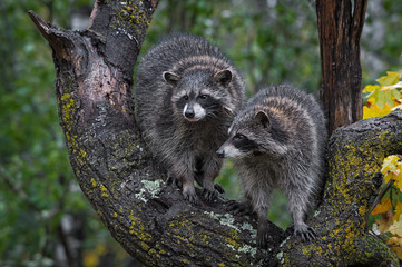 Raccoons (Procyon lotor) in Tree One Sticking Out Tongue Autumn