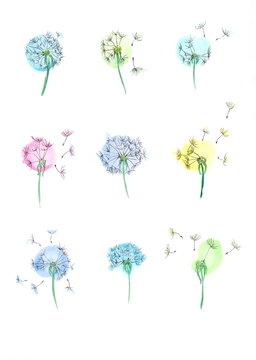 Set of spring flowers dandelions. Watercolor floral hand drawn illustration. Blooming dandelions with seeds. Sketch drawing in watercolor strokes and black ink.