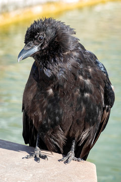 Raven on wall by water in garden