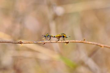 Fond de hotte en verre imprimé Papillon Macro shot of a robber fly