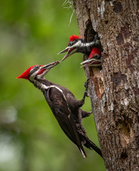 Pileated woodpecker nest in Florida