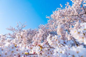 Papiers peints Fleur de cerisier さくら