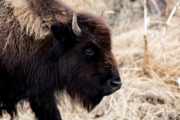 Fototapeta Great male Bison in field early winter