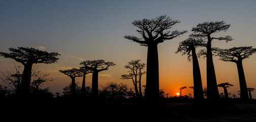 In de dag Baobab Sunset at the Alley of the Baobabs at Morondava, Madgascar