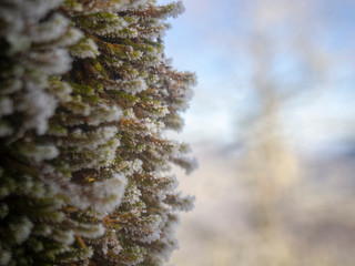 Detail of Frozen Moss