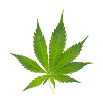 single marijauna leaf