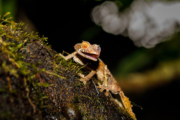 Leaf Tailed Gecko cleaning eye with tongue in Montagne d'Ambre National Park of Madagascar