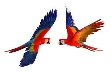 Tuinposter Papegaai Scarlet macaw parrot isolated on white background.